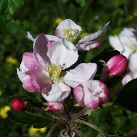 Blossom by Sarah Harding - Novices Only Flowers & Plants ( plant, nature, novices only, garden, flower )