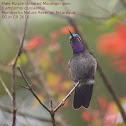 Male Purple-throated Mountain-gem