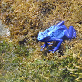 Poisonous frog by Danielle Cagle - Animals Reptiles