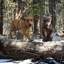 by Rob Ebersole - Animals - Dogs Playing
