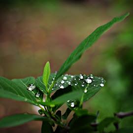 After the Rain by Prasanta Das - Nature Up Close Natural Waterdrops ( sparkling, water. drop, rain )