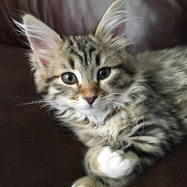 Kitten by Angie Arnold - Instagram & Mobile iPhone ( cat, kitten, iphone6s, russian siberian )