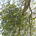 European Mistletoe