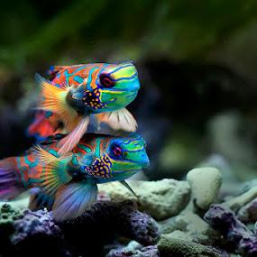 T w o by Jeffry Surianto - Animals Fish