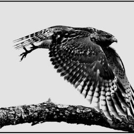 Hawk by Patti Westberry - Black & White Animals ( in flight, red shouldered hawk, bird, hawk, avian )