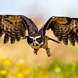 Speckled Owl Swooping by Keith Sutherland - Animals Birds