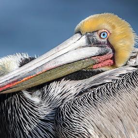Pelican by Heather Allen - Animals Birds (  )