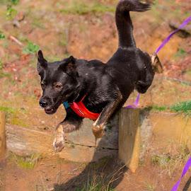 Dog launch by Jenny Trigg - Animals - Dogs Running ( akita, jumping, husky, german shepherd, dog, running )
