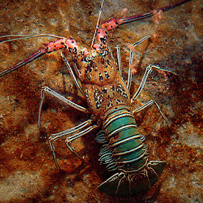 Lobster by CRISTINA  CASTRO - Animals Sea Creatures ( lobster seacreature )