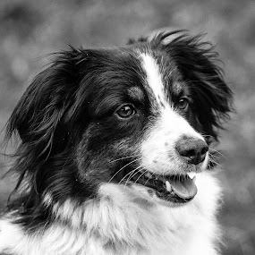 Black and White Mini Aussie Portrait by Jason Lockhart - Black & White Animals ( pet portrait, wisconsin, black and white, mini aussie, madison )