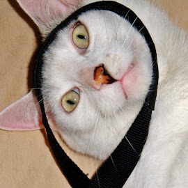 FILIP by Wojtylak Maria - Animals - Cats Portraits ( cat, pet, white, filip, animal )