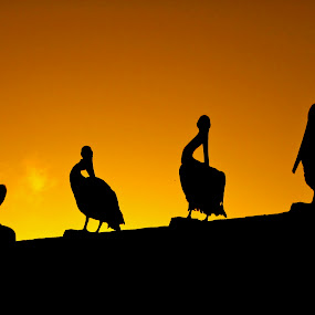 Sunset nap time  by Emily Jones - Backgrounds Nature ( contrast, animals, sunset, beach birds, birds )
