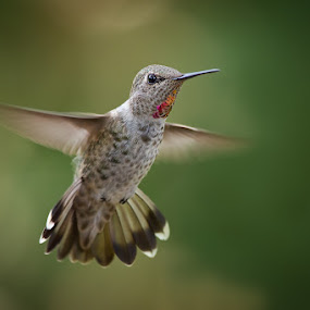 Anna's Hummingbird by Phoo (mallardg500) Chan - Animals Birds ( hummingbird )