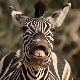 The Smiling Zebra by Judy Patching - Novices Only Wildlife ( face, funny, zebra, smile )