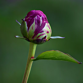 Peony by Mill Tal - Flowers Flower Buds