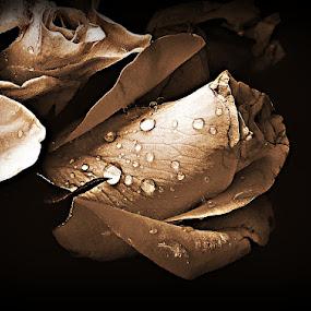 Natures Beauty by Michelle Dimascio - Flowers Single Flower ( rose, nature, plants, flower )