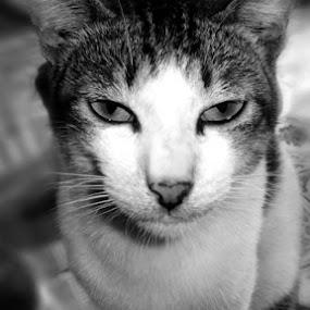 CAT by Pak Dedi Inhil - Novices Only Pets