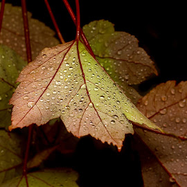 Autumn Dreams by Lynne McClure - Nature Up Close Natural Waterdrops ( water drops, nature, autumn leaves, nature up close, raindrops, autumn colors, leaves, garden )