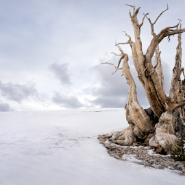 Grandfather  by Michael Keel - Landscapes Travel ( old trees, white mountain, bristlecone pineforest, snow, bristlecone, big pine )