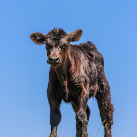 King Of The Hill by Pete Bouman - Animals Other Mammals ( mn, minnesota, ruthton, angus, calf, bovine, cattle, black )