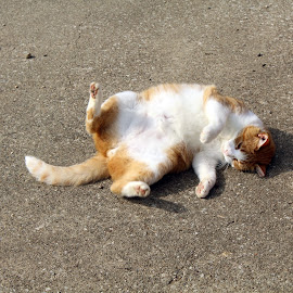 Roll Out by Kathryn Fenton - Animals - Cats Playing ( cat, playful, rescue, fun, playtime,  )