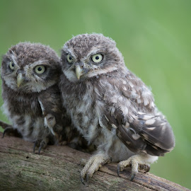 Sisters by Jürgen Sprengart - Animals Birds ( owl, steinkauz, babys )