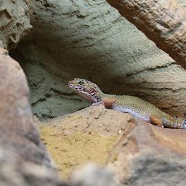 leopard gecko by Martyn Bennett - Animals Reptiles ( sand, lizard, scales, gecko, legs, stones, tail, eyes )