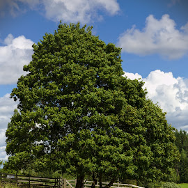 Trees and sheep by Simo Järvinen - Landscapes Prairies, Meadows & Fields ( field, outdoor, summer, trees, sheep, landscape )