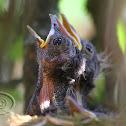 Sabiá-laranjeira (Rufous-bellied Thrush)