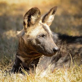 African Wild Dog by Hannes van Rooyen - Animals Other Mammals ( african, wildehond, male, adult, dog,  )