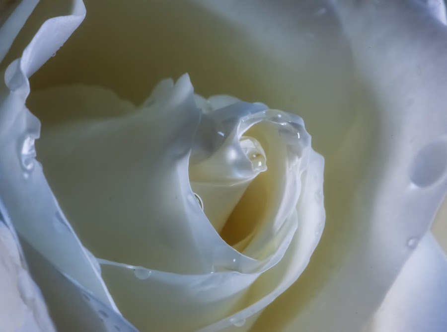 White Rose by Paula Eagle - Nature Up Close Flowers - 2011-2013 ( rose, white, flower )
