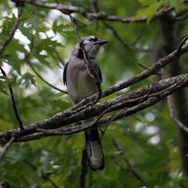 Blue Jay by Deborah Lucia - Animals Birds ( blue_jay, blue_bird )