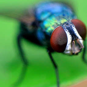 Housefly by Krishna Kumar - Animals Insects & Spiders ( macro, nature, color, green, brown, reverse macro, eye )