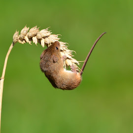 Nearly there by David Cozens - Animals Other Mammals ( climbing, mouse, ear, harvest, corn )