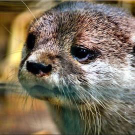 lone otter by Nic Scott - Animals Other Mammals ( otter, animal )