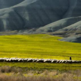 flocks by Erol Ayyıldız - Animals Other ( flocks, sheep, turkey )