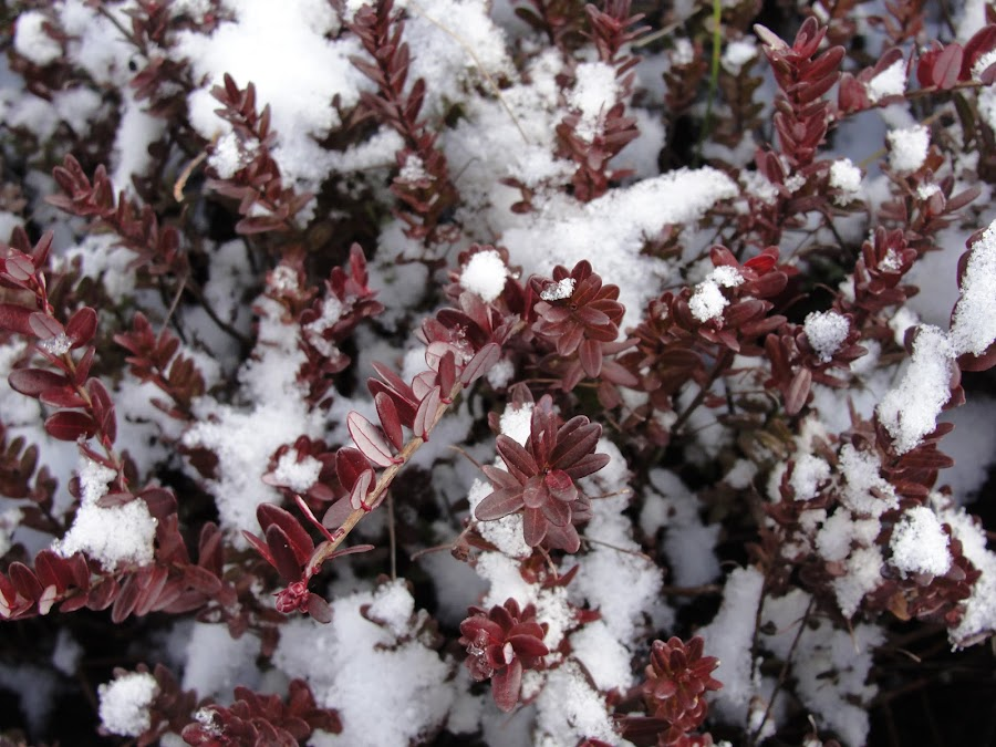 Cranberry covers with early snow by Ahmad Suhaizi - Nature Up Close Gardens & Produce ( cranberry, agriculture )