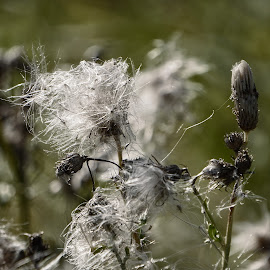 Like Dust in the Wind by Todd Reynolds - Nature Up Close Other plants