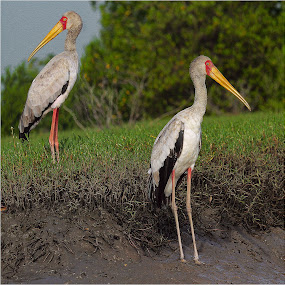 by Stephen Hooton - Animals Birds ( gambia )