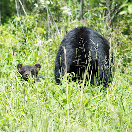 Baby and Mom by Thomas Shaw - Animals Other Mammals ( bear, mammals, wild, park, tennessee, wildlife, cades cove, photography, cub, hairy, field, national park, mountains, mother, black bear, fur, smoky mountains )