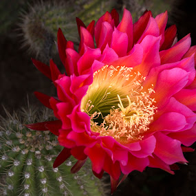 Cactus Burst by Mark Ritter - Flowers Single Flower ( flower cactus, succulent, flora, bloom, flower, floral, cactus )