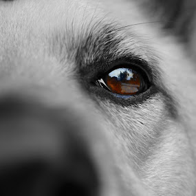 Eye Spy by Lizz Condon - Animals - Dogs Portraits ( stare, dog, eye )