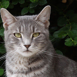Stare Down by Deb Bulger - Animals - Cats Portraits ( animals, feral cat, cat portrait, gray tabby, green eyes,  )