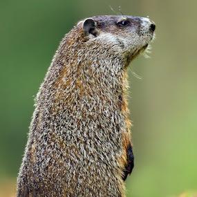 Ground Hog by Herb Houghton - Animals Other Mammals ( critter, ground hog, rodent )