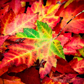 by Christine Weaver-Cimala - Nature Up Close Leaves & Grasses ( michigan, nature, color, fall, leaves,  )
