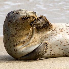 Seal III by Mark Ritter - Animals Sea Creatures ( la jolla, macro, coast, beach, seal, california, cloesup )