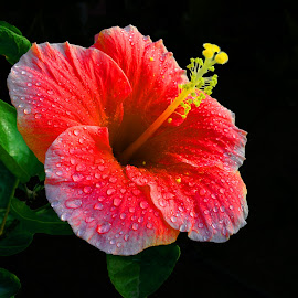 Hibiscus by Abhishek Nag - Instagram & Mobile Android ( dark light, single flower, close up, mobile )