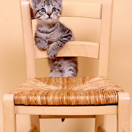Need A Little Help Please! by Ranee Rose - Animals - Cats Kittens ( cats, chair, brown tabby, pets, rescue, paws, kittens, cute, tabby, kittenscat )
