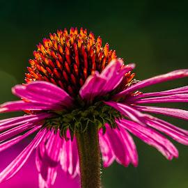 Purple Coneflower by David Hammond - Flowers Single Flower ( single, purple, nature, coneflower, garden, flower )