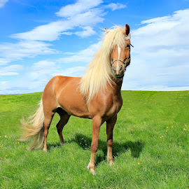 Icelandic mare by Anna Guðmundsdóttir - Animals Horses ( mare, iceland, hryssa, icelandic horse, horse, anna guðmundsdóttir, ísland, íslenskur hestur )